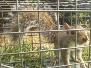 Cornelius NC Squirrel Removal