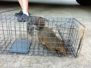 Charlotte Squirrel Control
