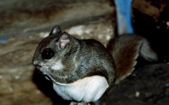 Flying Squirrel in Attic
