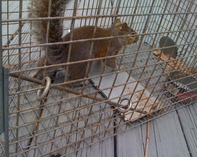 Squirrel Removed From Attic