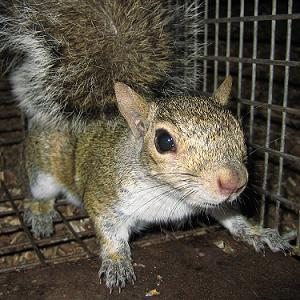 Squirrel Removal Rock Hill SC Fort Mill York County Tega Cay