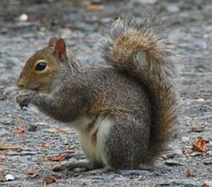 Davidson NC Squirrel Removal