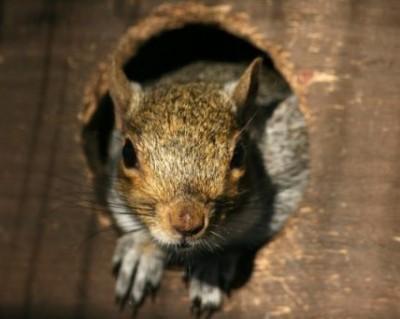 Squirrel Removal Huntersville NC