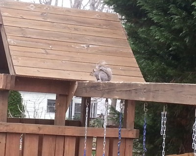 Squirrel Removal Belmont NC