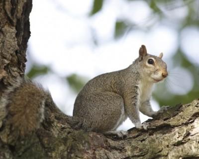 Nesting in attic, Squirrels